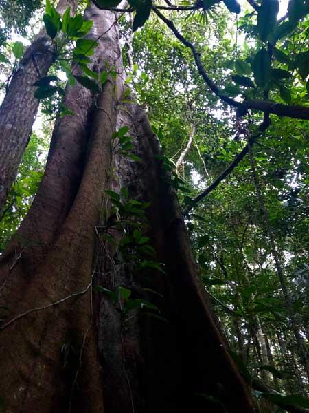Árvores - Trilha do Baepi - Ilhabela - Por Elas Mundo Afora