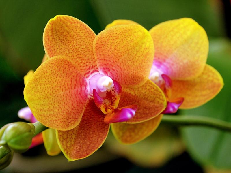 Exposição de Orquídeas em Ilhabela