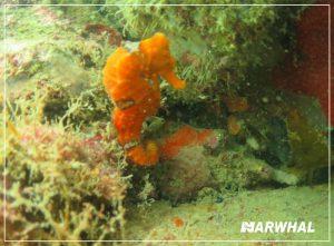 mergulho-com-a-narwhal-em-ilhabela-cavalo-marinho