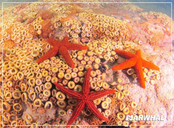 Narwhal Mergulho em Ilhabela - Estrelas do mar