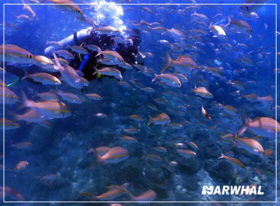 Narwhal Mergulho em Ilhabela - Cardume no fundo do mar