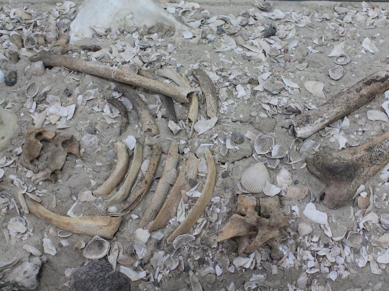 Esqueleto em Sambaqui em Ilhabela (Imagem: Arquivo Pessoal/Alessandra Stefani)