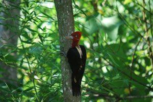 Pica-pau-rei-birdwatching-ilhabela-vilma-de-oliveira