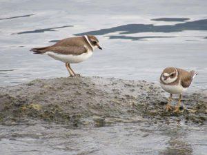batuira-de-bando-birdwatching-secretaria-de-turismo-de-ilhabela