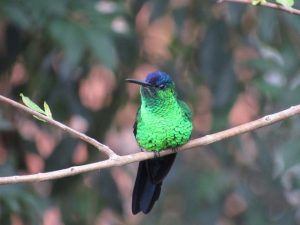beija-flor-de-fronte-violeta-birdwatching-secretaria-de-turismo-de-ilhabela