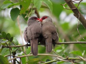 bico-de-lacre-birdwatching-secretaria-de-turismo-de-ilhabela