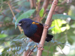 ferro-velho-birdwatching-secretaria-de-turismo-de-ilhabela