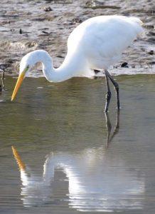 garca-branca-grande-birdwatching-secretaria-de-turismo-de-ilhabela