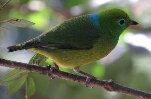 gaturamo-bandeira-birdwatching-secretaria-de-turismo-de-ilhabela
