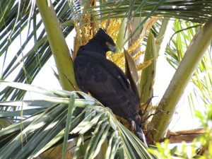 gaviao-pega-macaco-birdwatching-secretaria-de-turismo-de-ilhabela