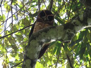 murucututu-de-barriga-amarela-birdwatching-secretaria-de-turismo-de-ilhabela