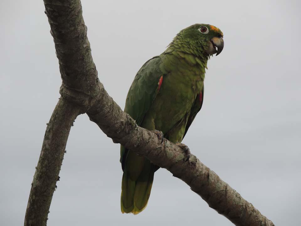 Papagaio Moleiro -mIlhabela (foto: Secretaria de Turismo de Ilhabela)