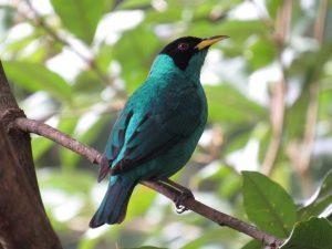 sai-verde-birdwatching-secretaria-de-turismo-de-ilhabela