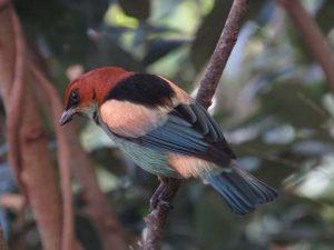saira-sapucaia-birdwatching-secretaria-de-turismo-de-ilhabela