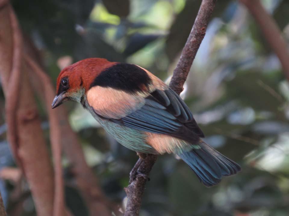 Saíra Sapucaia - Birdwatching (foto: Secretaria de Turismo de Ilhabela)