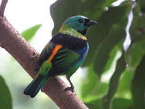 saira-sete-cores-birdwatching-secretaria-de-turismo-de-ilhabela