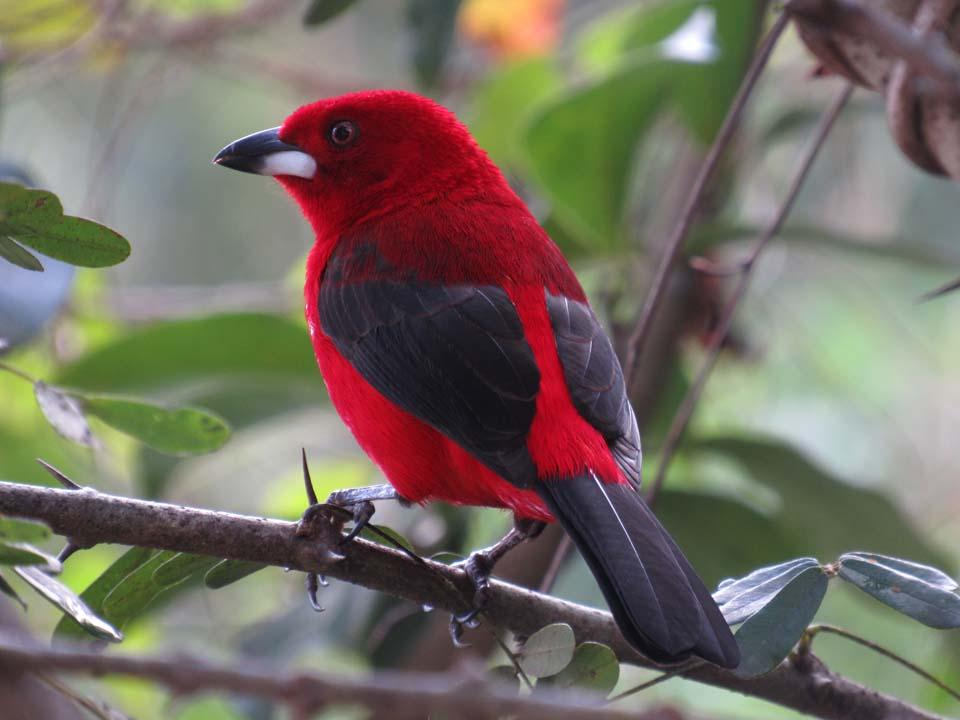 Tiê Sangue - Birdwatching (foto: Secretaria de Turismo de Ilhabela)