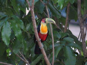 tucano-de-bico-verde-birdwatching-secretaria-de-turismo-de-ilhabela