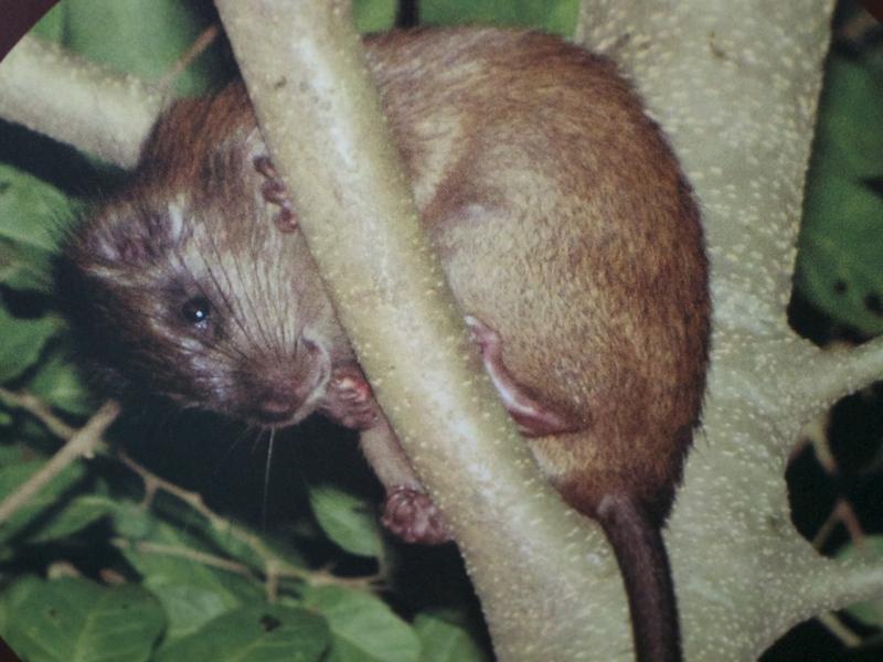 Cururuá espécie endêmica de Ilhabela (Imagem: Arquivo Pessoal/Alessandra Stefani)