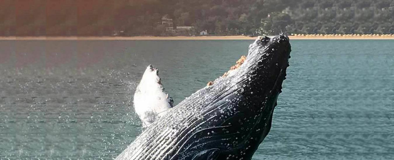 Baleia Jubarte em Ilhabela