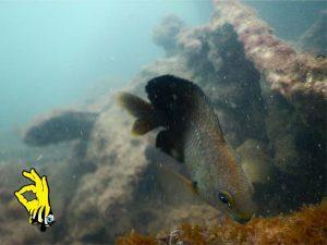 mergulhasi-peixe-ilhabela