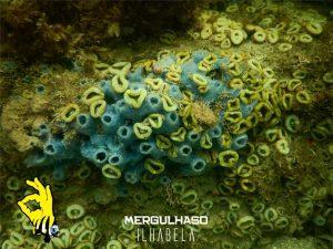 mergulhaso-corais-em-ilhabela