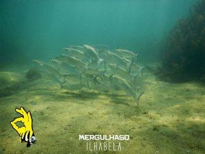 mergulhaso-tainha-ilhabela