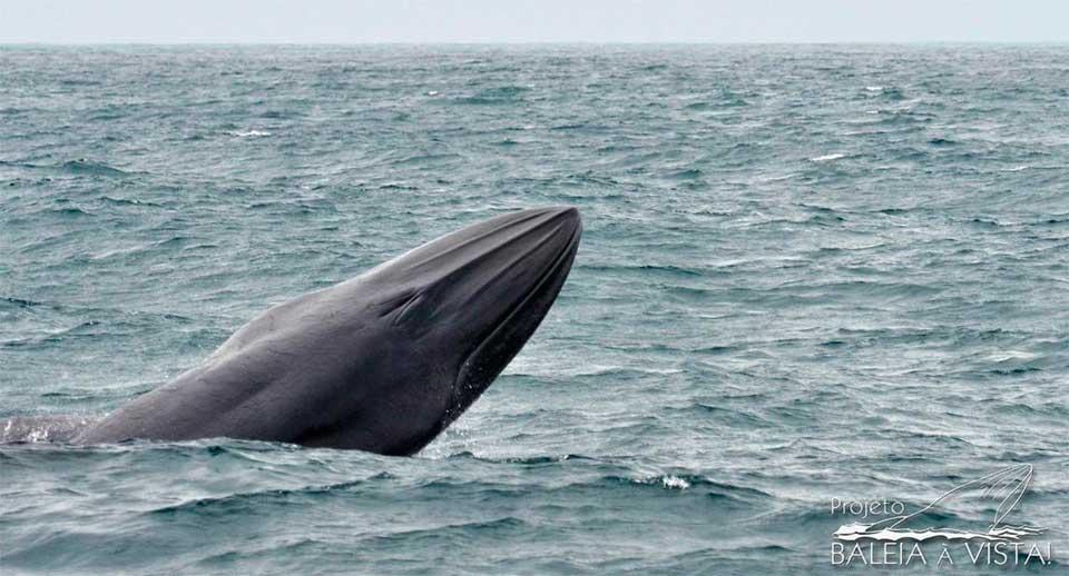 Baleia de Bryde, mais comum na região, em um raro momento de salto (Foto: Julio Cardoso / Projeto Baleia à Vista)
