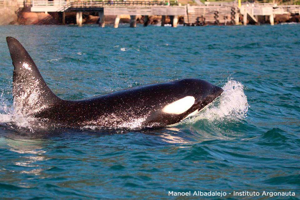 Baleia Orca avistada em Ilhabela (Foto: Manoel Albadalejo / Instituto Argonauta)