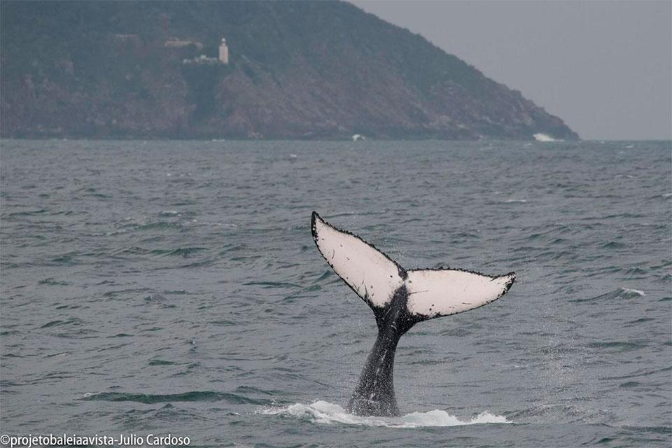Cauda de Baleia Jubarte com Farol da Ponta do Boi ao fundo (Foto: Julio Cardoso / Projeto Baleia à Vista)