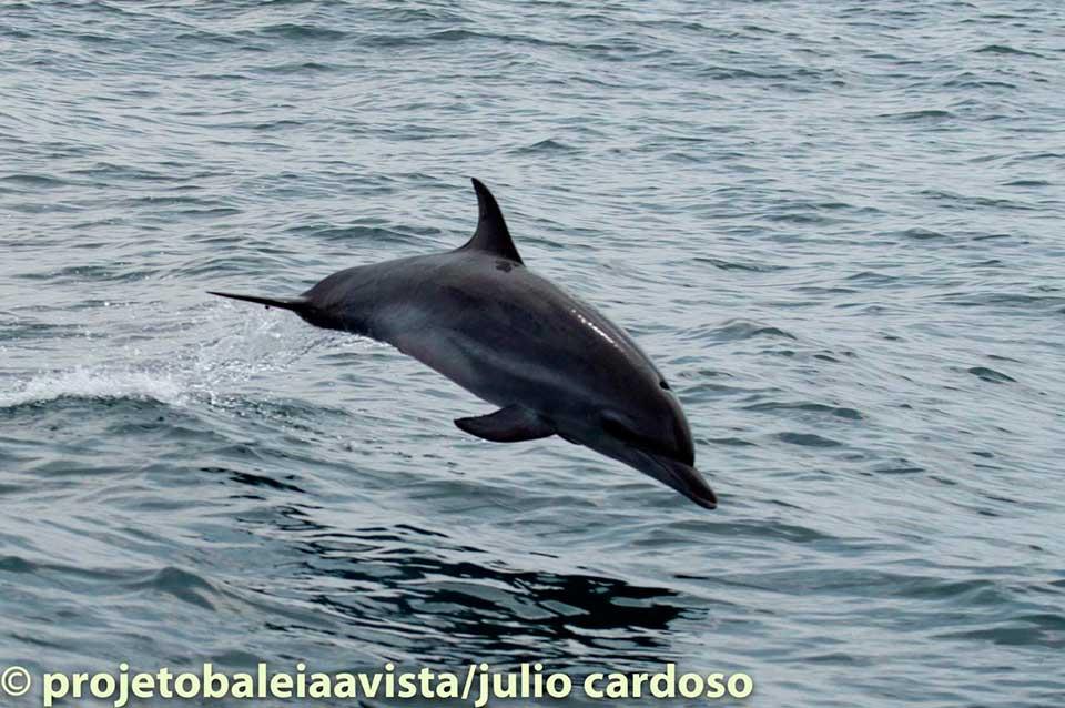Golfinho Pintado do Atlântico, muito comum em Ilhabela (Foto: Julio Cardoso / Projeto Baleia à Vista)