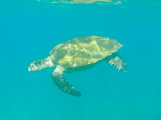 Tartaruga marinha em Ilhabela (Imagem: Alessandra Stefani/Arquivo Pessoal)