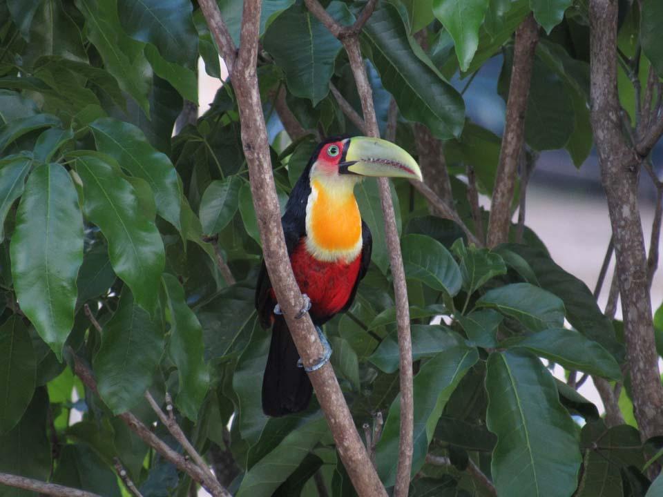Tucano de Bico Verde - Birdwatching (foto: Secretaria de Turismo de Ilhabela)