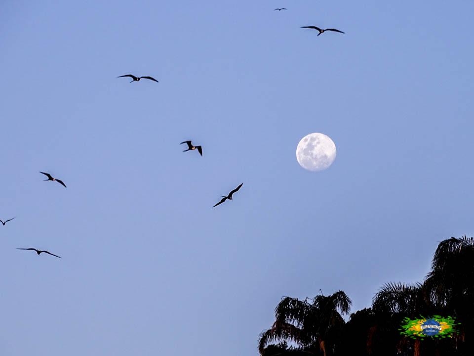 Fragatas, aves típicas da região, formando o maior ninhal de aves marinhas do Atlântico Sul