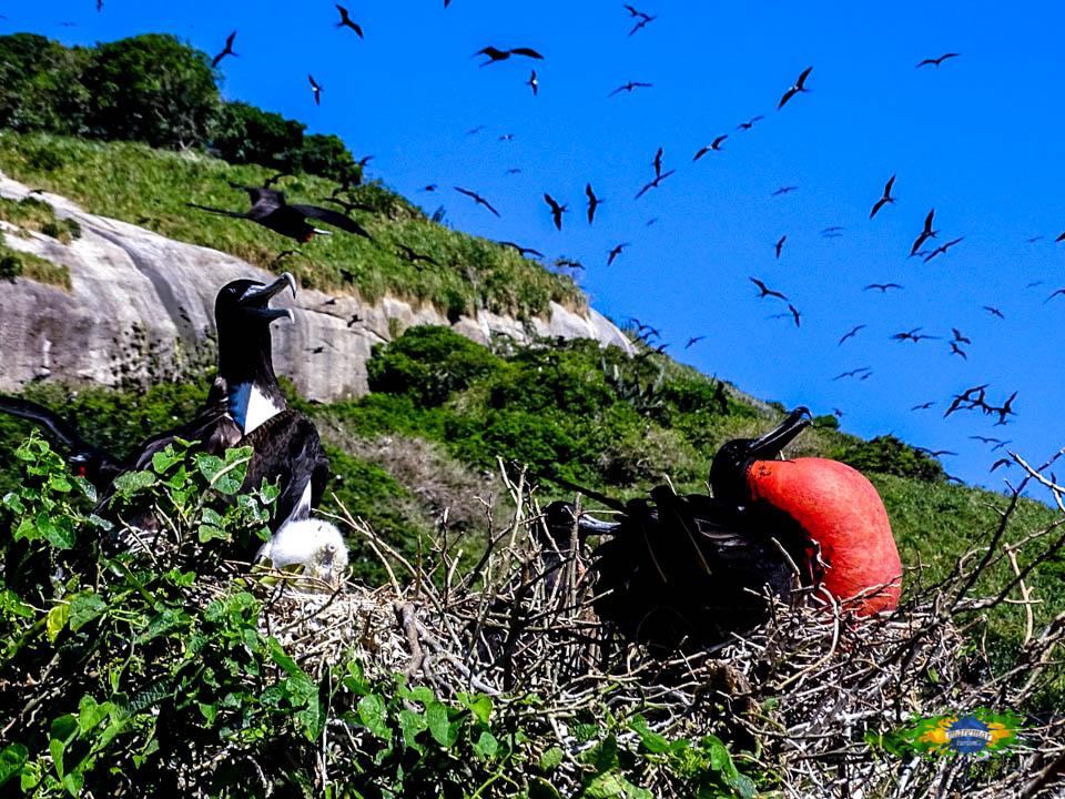 Fragatas em período de acasalamento - Arquipélago de Alcatrazes, maior ninhal de Fragatas do Atlântico Sul - Maremar Turismo