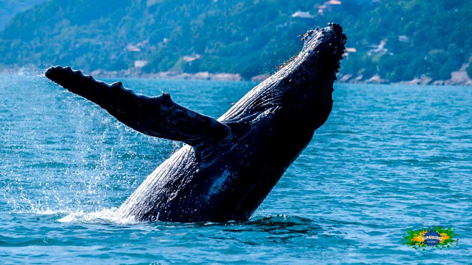 Expedição Ilhabela Alcatrazes valoriza belezas da vida marinha - Avistamento de baleias jubartes em Ilhabela